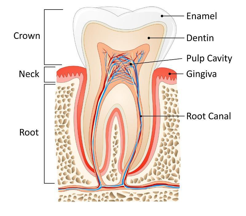 root canal in charlotte nc | harlow dental